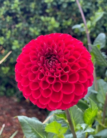6006_Red Ballon_Quamrun Eldridge - Asma Khan