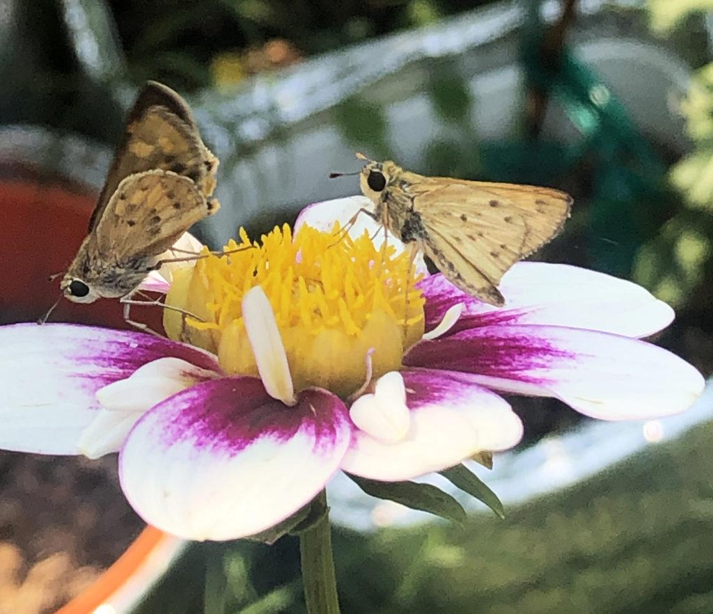 Favorite In the Garden - 9902 Skippers on a Dahlia, Louise Henriksen