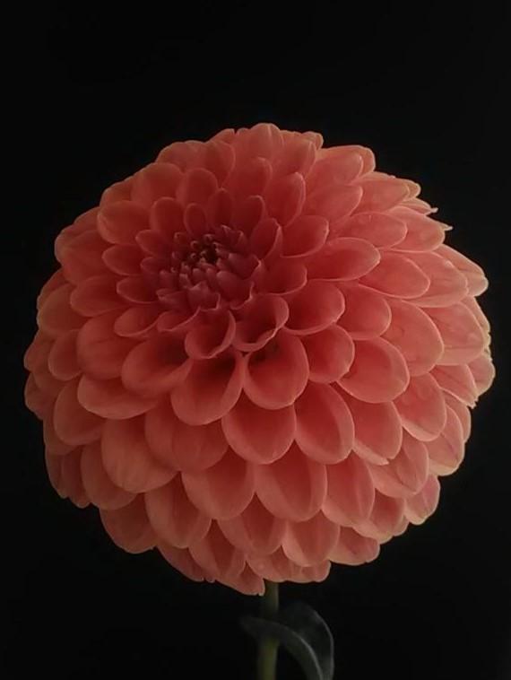 4003-Rose Toscano-Dennis Stone